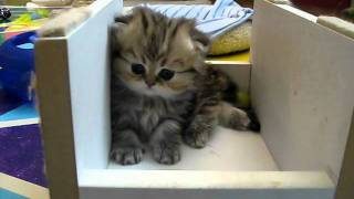 """Cute Persian kittens: the """"I"""" Litter 1 of ? - 07.13.11"""