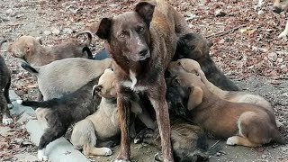 Rescue Mother and 17 Puppies was Abandoned Beside the Road near Forest with High Risk to D.e.ath