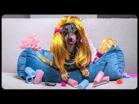 Don't trust cute dachshund eyes: A man with a plan!