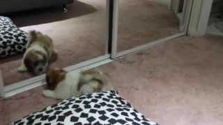 My Little Toby, Maltese X Poodle