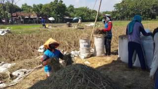 harvest rice farm (indonesia trip)