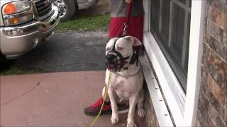 (Part 3)  Aggressive American Bulldog has lost his mind! RED ZONE DOG BITES THE MIAMI DOG WHISPERER