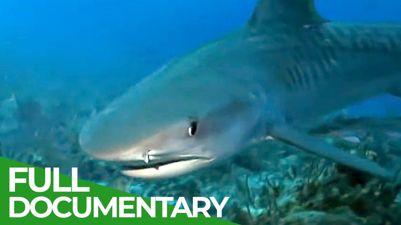 Night Sharks | Ocean Vet | S01 E08 | Free Documentary Nature