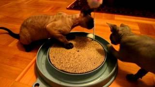 Devon Rex Kittens play with Catit PlaynScratch toy