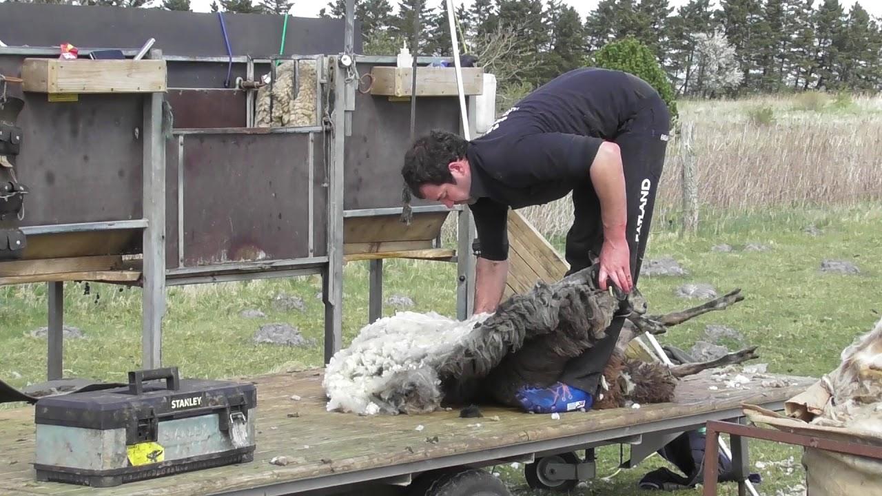 klipning af får