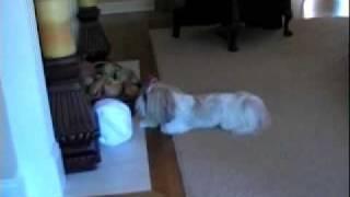 Shih Tzu Dog With Endless Energy