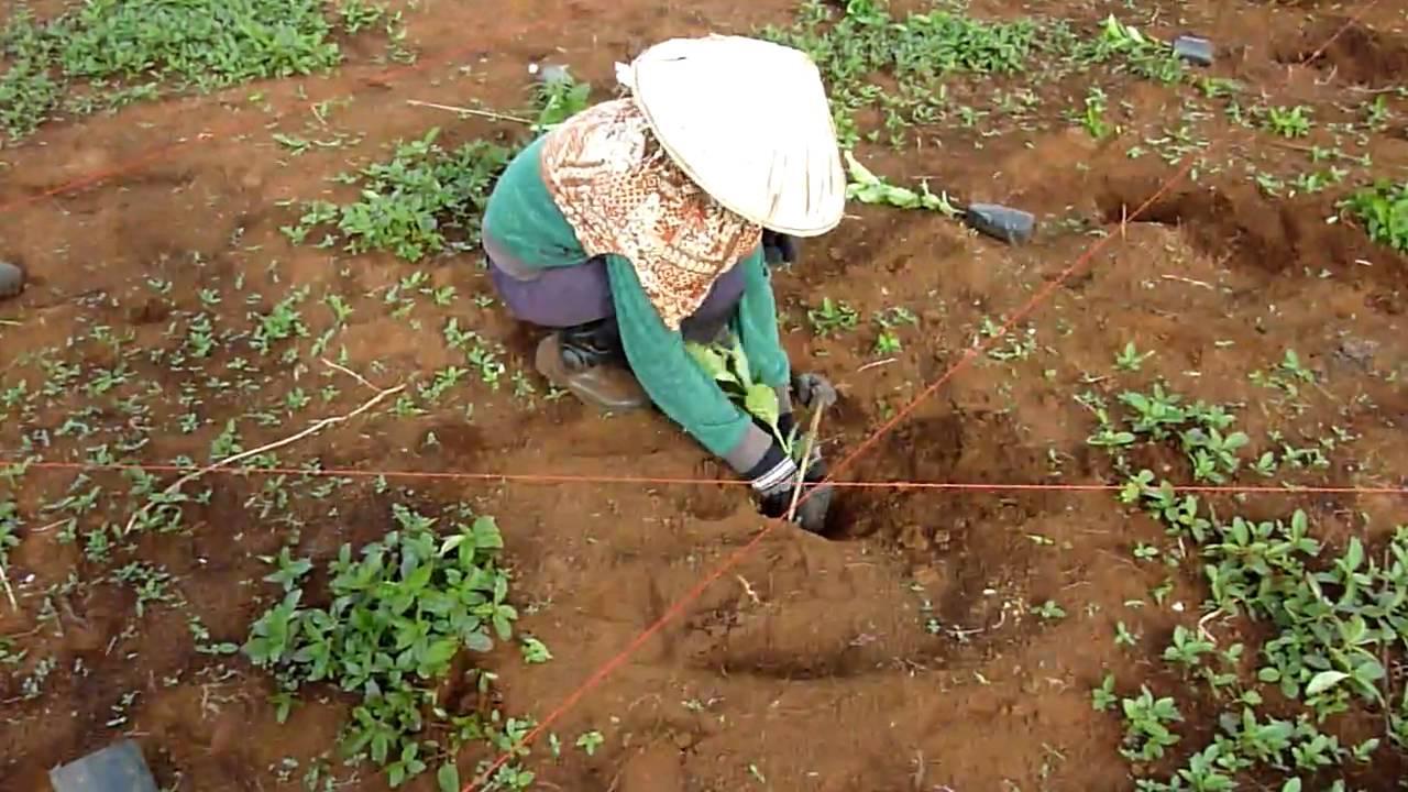 Planting Coffee Seeds