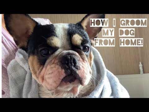 Taking Care Of A French Bulldog- How To Groom A Frenchie!