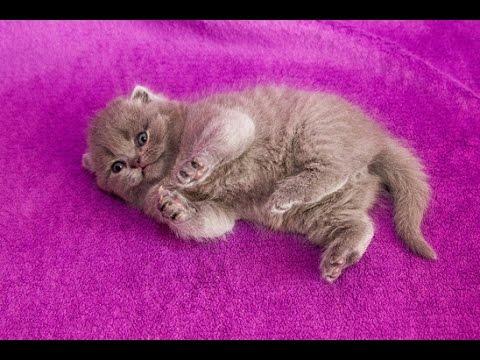 Вопрос: Почему у британских кошек хорошее здоровье?
