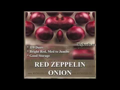 RED ZEPPELIN Onion seeds ~ Long-Day Variety red hybrid,  SEEDS on  www.MySeeds.Co