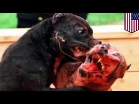 قتال كلاب وصاحبة كلاب بيتبول تقاضي عائلة بعد أن قامت كلابها بقتل كلب الصيد