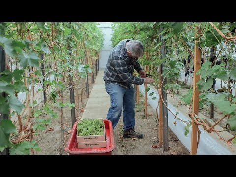 Wine grape grower hopes to make first Alaska-grown wine