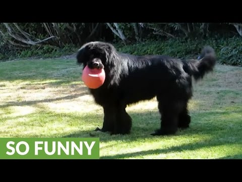 game-of-fetch-with-newfoundland-comes-to-abrupt-end