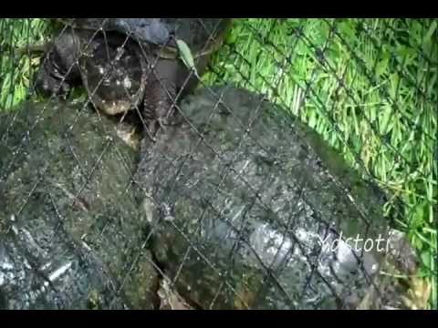 Trapping Snapping Turtles In Our Pond
