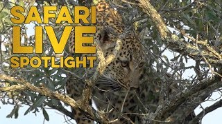 The Arboreal Wild Cat thumbnail