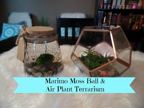 Marimo Moss Ball Aquarium Air Plant Terrarium Diy Project Youtube