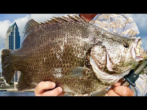 CATCH CLEAN COOK HUGE TripleTail  | Dinosour Fish | Best Recipe EVER Florida Fishing