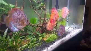 75 gallon planted discus community tank