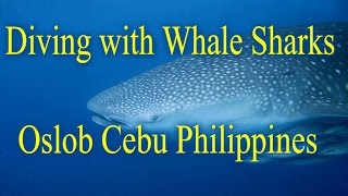 Diving with Whale Sharks in Oslob South of Cebu Philippines using Intova sp1 HD sport 1080p