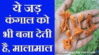 घर लायें इस पौधे की जड़ कंगाल को भी बना देगी मालामाल || Hatthajodi Ped Ki Jad Se Karen upay -