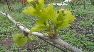 Виноградник  Апрель