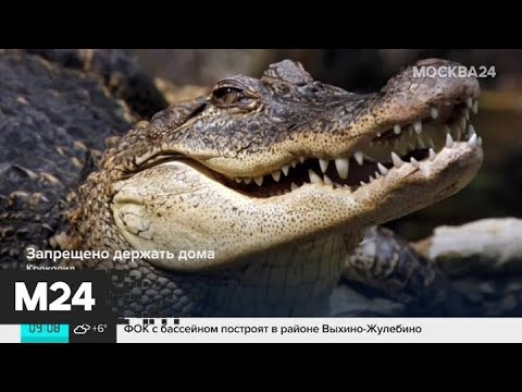 Почему москвичи заводят крокодилов, а потом выбрасывают их на улицу - Москва 24
