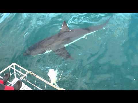 Plongée avec le grand requin blanc à Gansbaai / Afrique du Sud - Janvier 2013