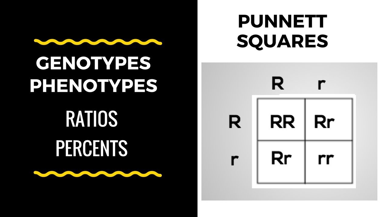 Genotype and Phenotype Ratios and Percents ( Punnett ...