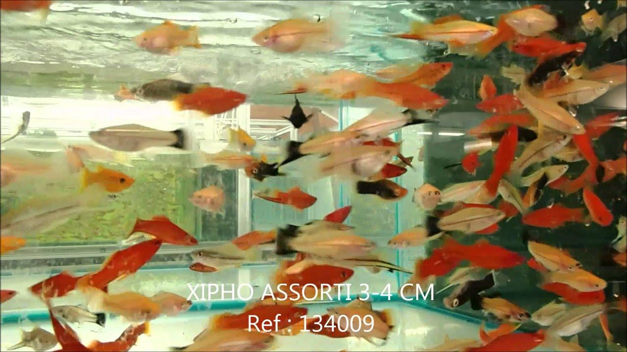 S lection de poissons semaine 13 mars 2014 comptoir du poisson exotique youtube - Comptoir poisson exotique ...