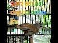 Suara Burung Cingcoho Betina Pemikat Jitu  Mp3 - Mp4 Download