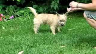 Roxy Cairn Terrier Tricks