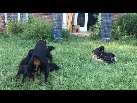 Hurin x Gretchen puppies 9/20/18