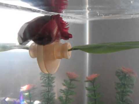 betta fish playing swimming around his hammock betta fish playing swimming around his hammock   youtube  rh   youtube