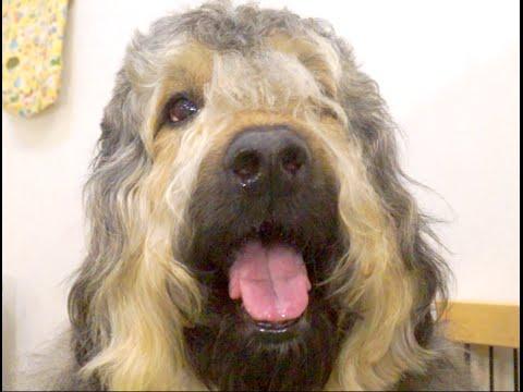 番組提供:ペットライン株式会社(http://www.petline.co.jp/) 『フランダースの犬』のパトラッシュ覚えていますか?? 今回はパトラッシュのモデル...