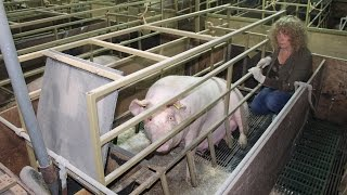 Face Off: Juliet visits a typical British pig farm, Wiltshire, UK