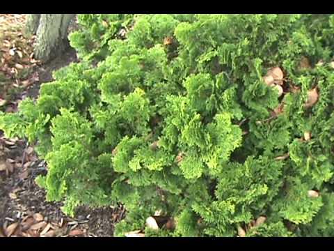 how to id chamaecyparis obtusa 39 nana gracilis 39 youtube. Black Bedroom Furniture Sets. Home Design Ideas