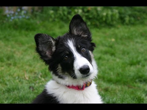 Star - Amazing 4 month old Border Collie Puppy
