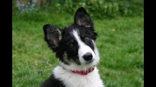 Star  Amazing 4 month old Border Collie Puppy