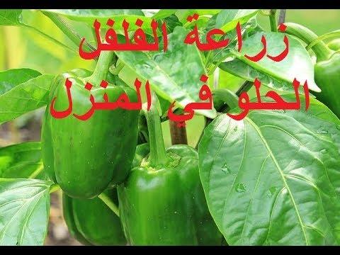 زراعة الفلفل الاخضر الحلو في المنزل من الالف الى الياء Cultivate Sweet Green Peppers At Home Youtube
