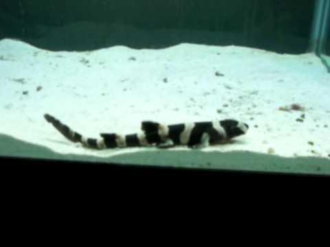Banded Cat Shark 1 - YouTube