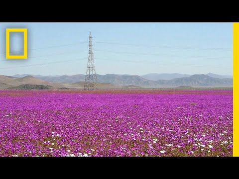 See One of Earth's Driest Places Experience a Rare Flower Boom | National Geographic