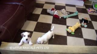 Little Rascals Uk Breeders New Litter Of Jack Russell Pups - Puppies For Sale UK