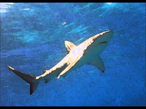 A Closer Look To The Galapagos shark