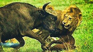 Африканский МОЛОТОБОЕЦ - Буйвол в Деле Буйвол против львов, носорогов, слонов и даже туристов