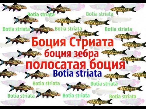 Боция Стриата( боция зебра,полосатая боция).Botia striata.