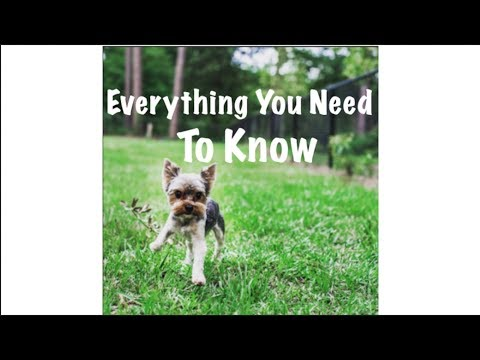 Yorkies 101 | part 1 | Tips/Information on the breed