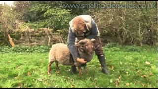 Putting on a Ram Harness with Adam Henson