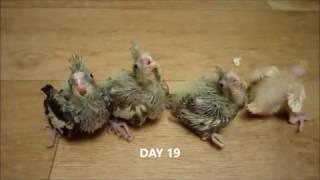 ПОПУГАЙ КОРЕЛЛА ОТ ЯЙЦА ДО ПТИЦЫ: как растут птенцы(От яйца до взрослой птицы по дням, уникальное видео о том, как вылупляются и взрослеют птенцы попугая корелл..., 2017-01-12T16:05:57.000Z)