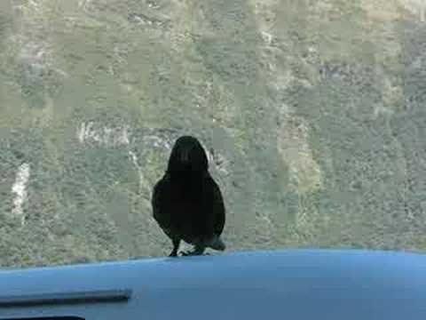 Kea Bird in Milford Sound, NZ