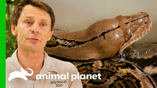 Reticulated Python Needs Extra Help To Shed Her Skin | Crikey! It's The Irwins